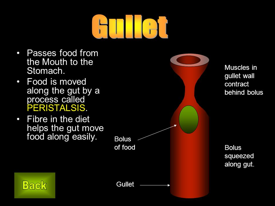 Passes food from the Mouth to the Stomach. Food is moved along the gut by a process called PERISTALSIS. Fibre in the diet helps the gut move food alon