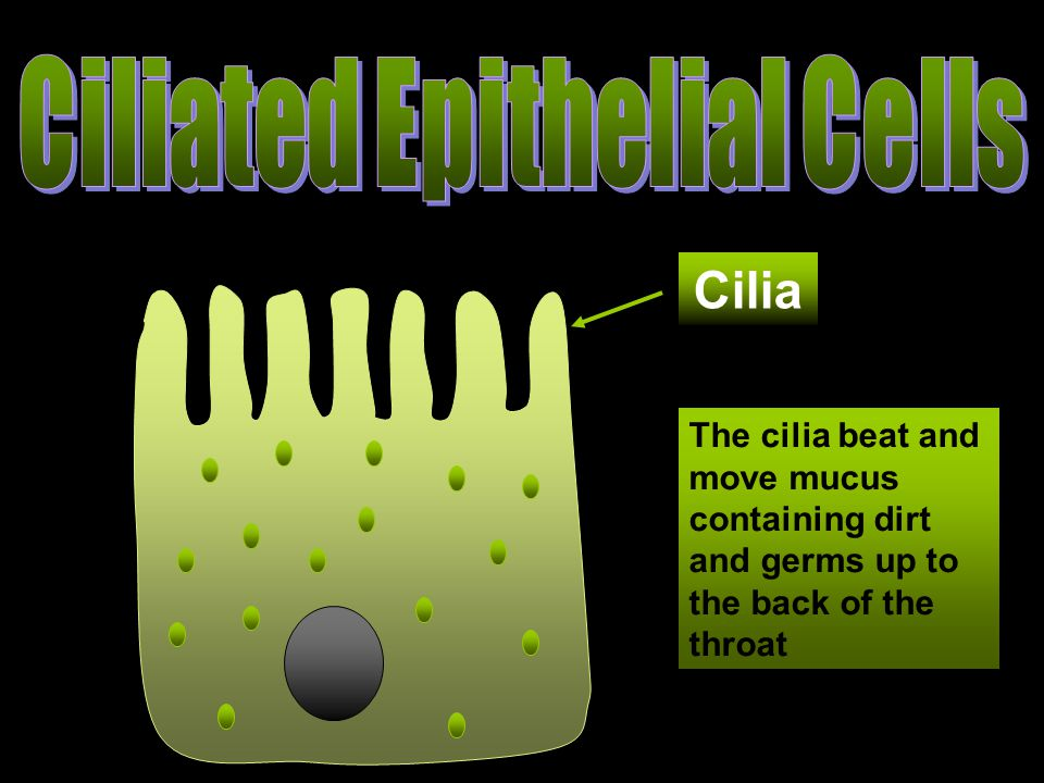 The cilia beat and move mucus containing dirt and germs up to the back of the throat Cilia