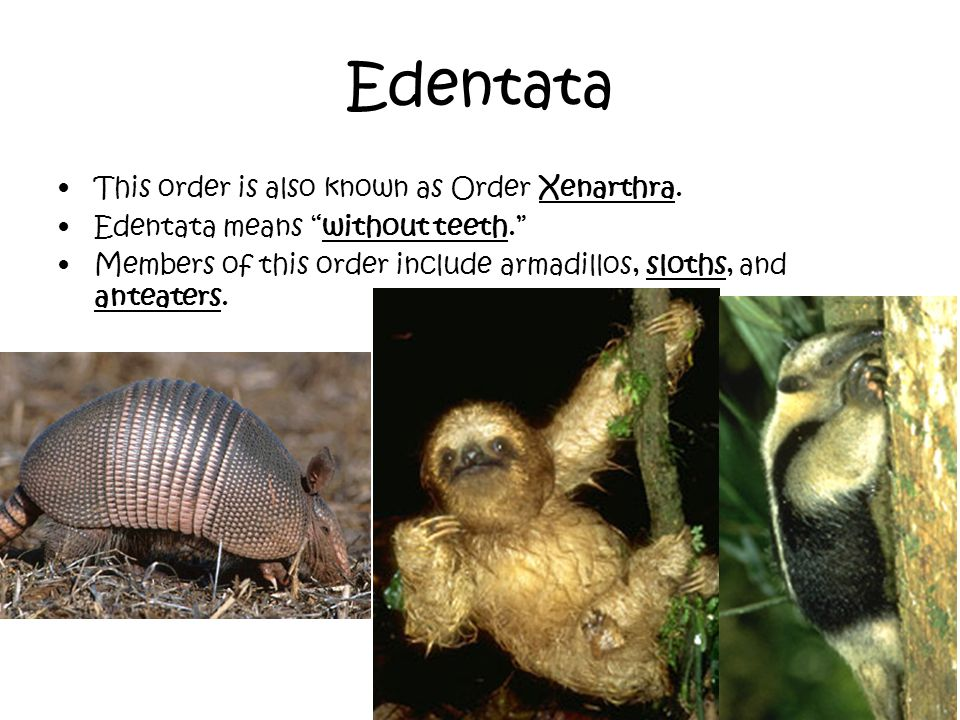 Edentata This order is also known as Order Xenarthra. Edentata means without teeth. Members of this order include armadillos, sloths, and anteaters.