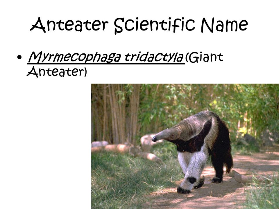 Anteater Scientific Name Myrmecophaga tridactyla (Giant Anteater)