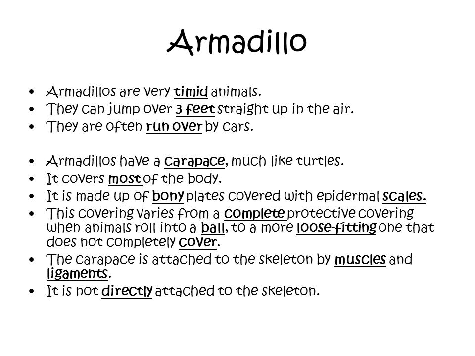Armadillo Armadillos are very timid animals. They can jump over 3 feet straight up in the air. They are often run over by cars. Armadillos have a cara