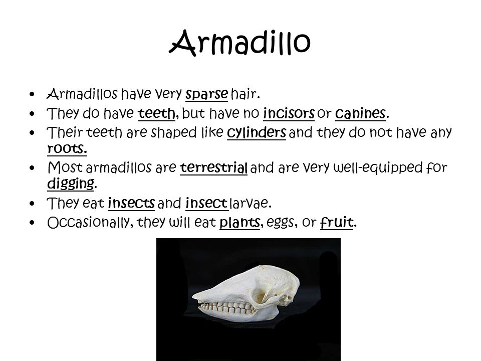 Armadillo Armadillos have very sparse hair. They do have teeth, but have no incisors or canines. Their teeth are shaped like cylinders and they do not