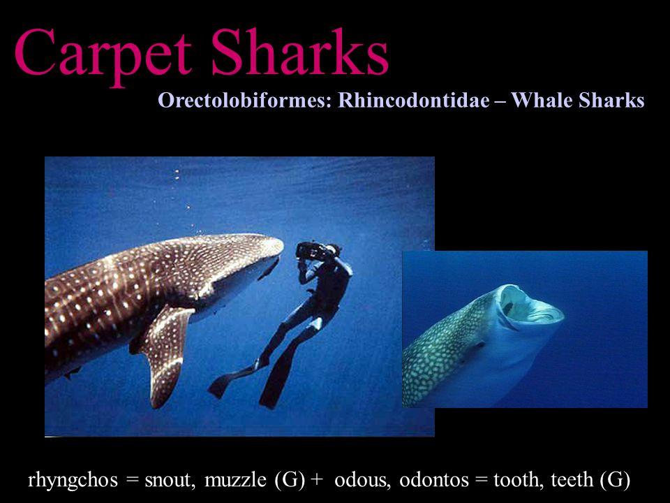 Carpet Sharks Orectolobiformes: Rhincodontidae – Whale Sharks rhyngchos = snout, muzzle (G) + odous, odontos = tooth, teeth (G)