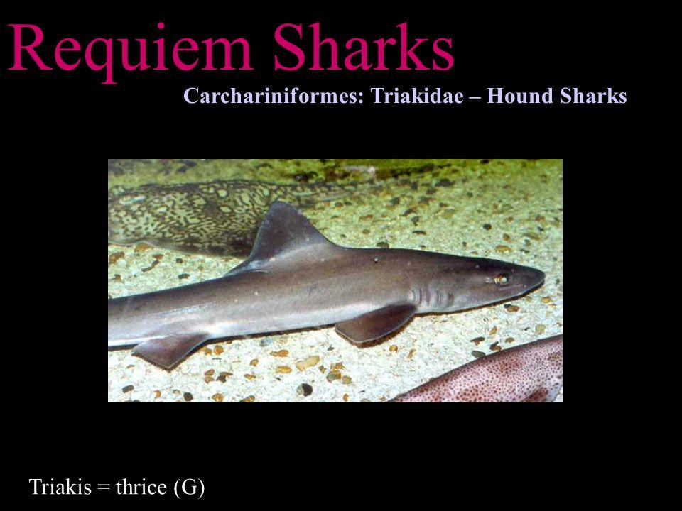 Requiem Sharks Carchariniformes: Triakidae – Hound Sharks Triakis = thrice (G)