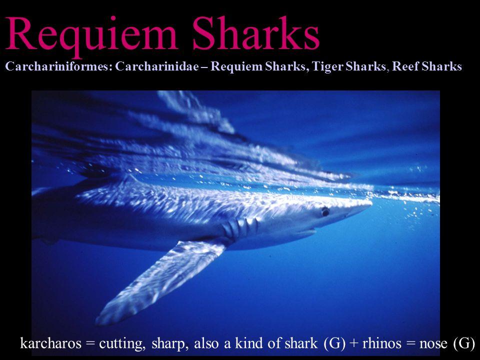 Requiem Sharks Carchariniformes: Carcharinidae – Requiem Sharks, Tiger Sharks, Reef Sharks karcharos = cutting, sharp, also a kind of shark (G) + rhin