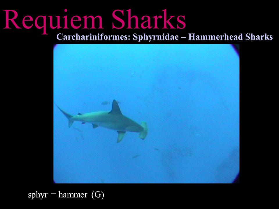 Requiem Sharks Carchariniformes: Sphyrnidae – Hammerhead Sharks sphyr = hammer (G)