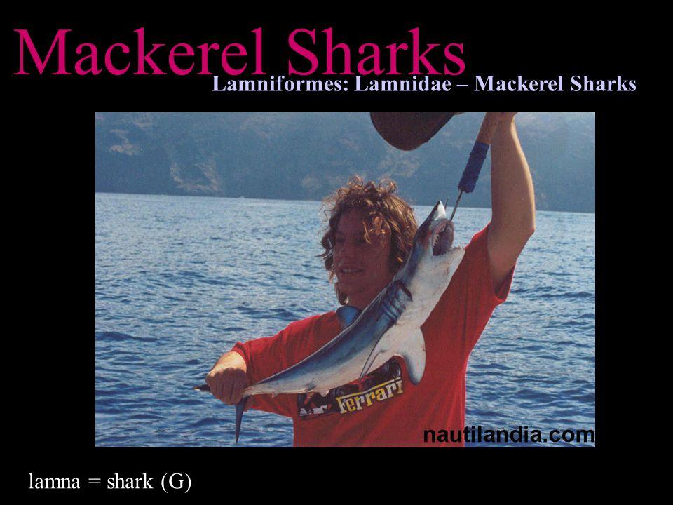 Mackerel Sharks Lamniformes: Lamnidae – Mackerel Sharks lamna = shark (G)