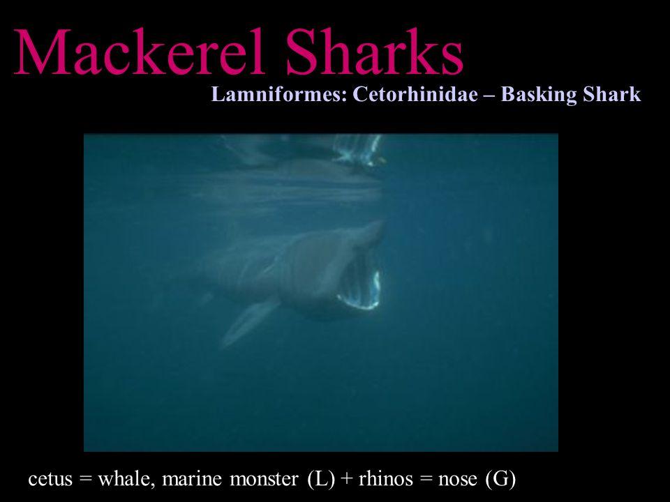 Mackerel Sharks Lamniformes: Cetorhinidae – Basking Shark cetus = whale, marine monster (L) + rhinos = nose (G)