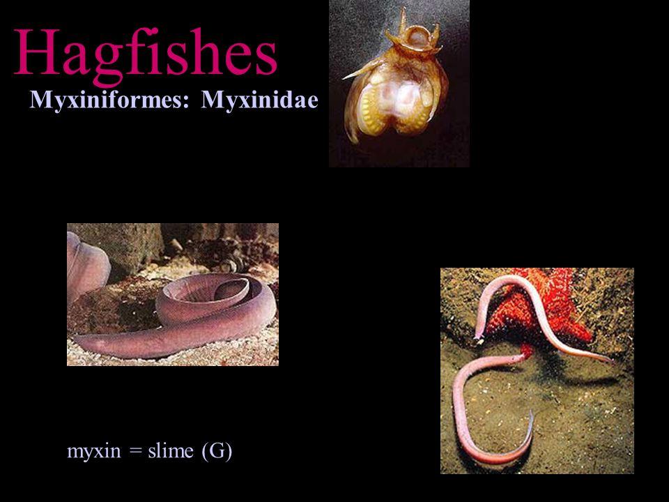 Lampreys Petromyzontiformes: Petromyzontidae petra = stone (L) + myzo = to suckle (G) + odontos = teeth (G)