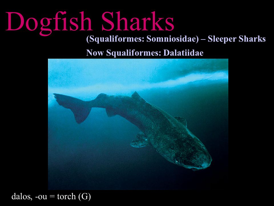 Dogfish Sharks dalos, -ou = torch (G) (Squaliformes: Somniosidae) – Sleeper Sharks Now Squaliformes: Dalatiidae
