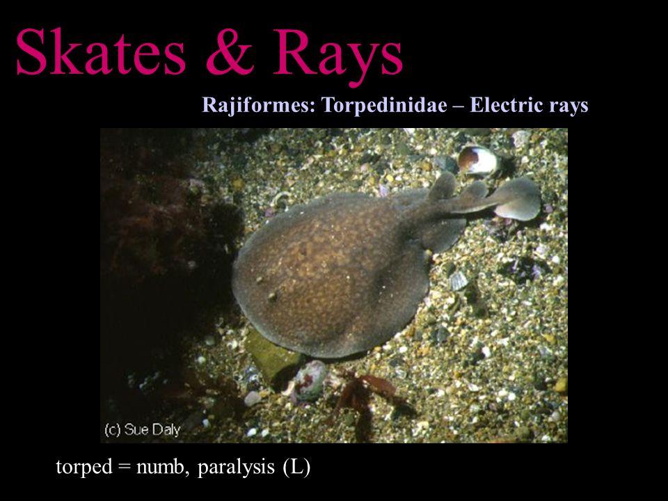 Skates & Rays Rajiformes: Torpedinidae – Electric rays torped = numb, paralysis (L)
