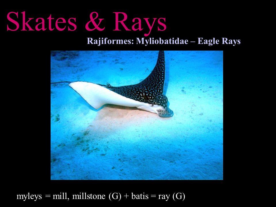 Skates & Rays Rajiformes: Myliobatidae – Eagle Rays myleys = mill, millstone (G) + batis = ray (G)