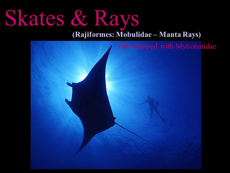 Skates & Rays (Rajiformes: Mobulidae – Manta Rays) Now lumped with Myliobatidae