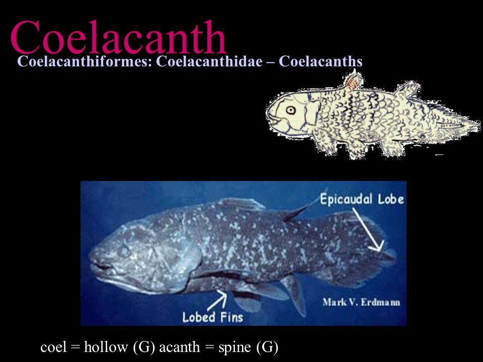 Coelacanth Coelacanthiformes: Coelacanthidae – Coelacanths coel = hollow (G) acanth = spine (G)