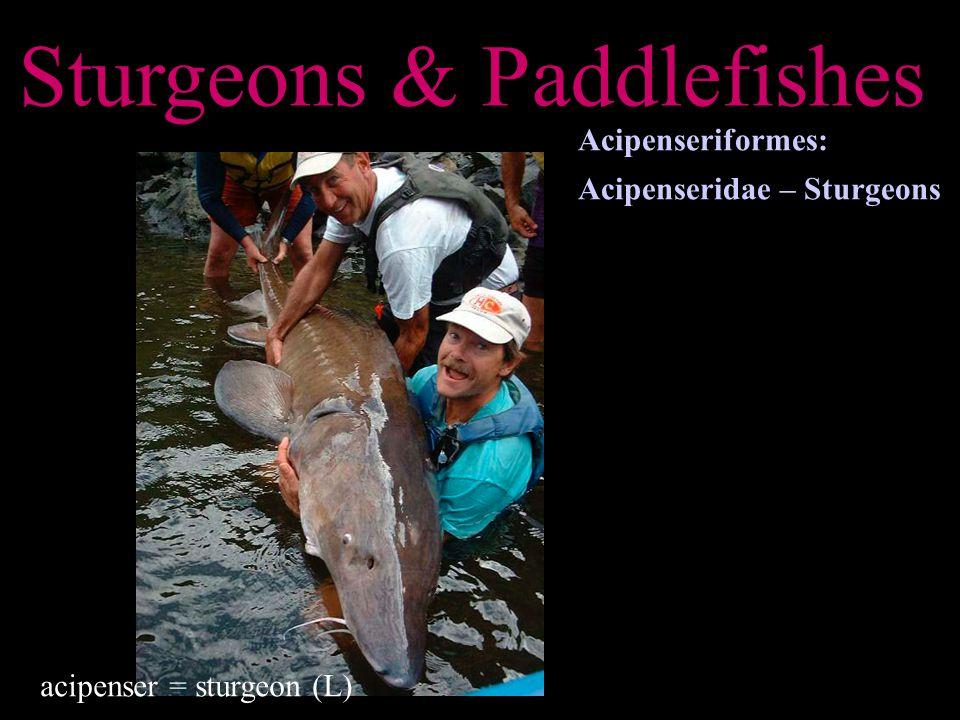 Sturgeons & Paddlefishes Acipenseriformes: Acipenseridae – Sturgeons acipenser = sturgeon (L)