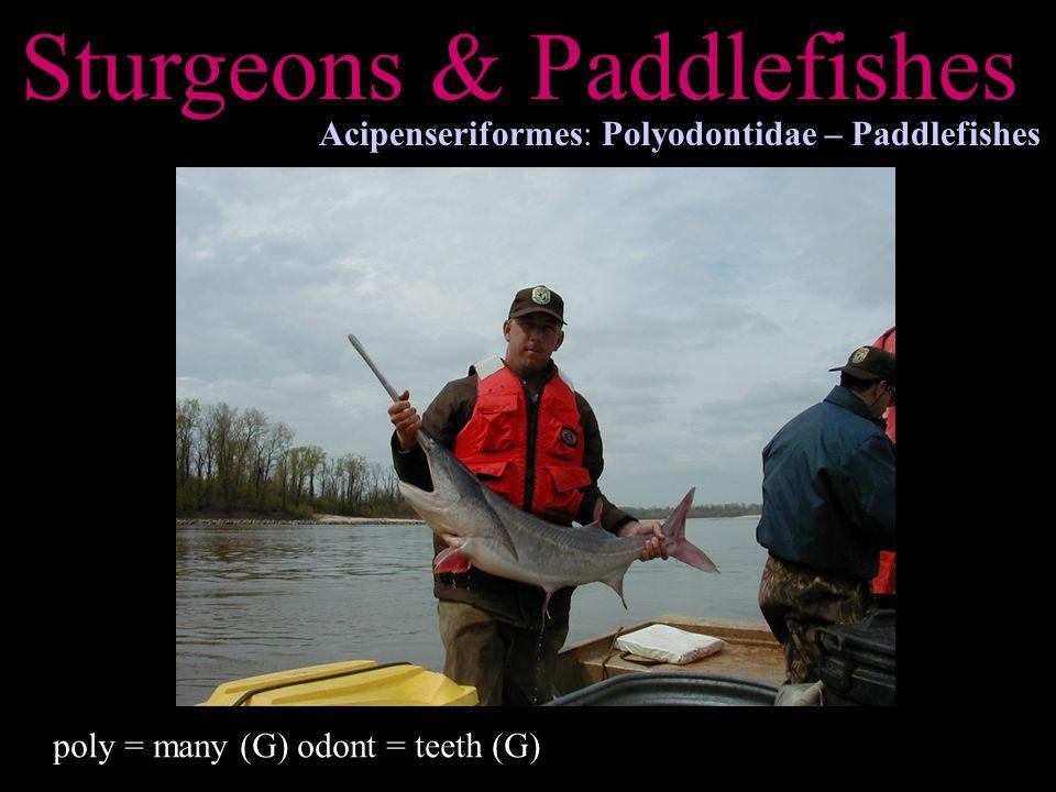 Sturgeons & Paddlefishes Acipenseriformes: Polyodontidae – Paddlefishes poly = many (G) odont = teeth (G)