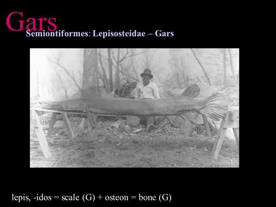 Gars Semiontiformes: Lepisosteidae – Gars lepis, -idos = scale (G) + osteon = bone (G)