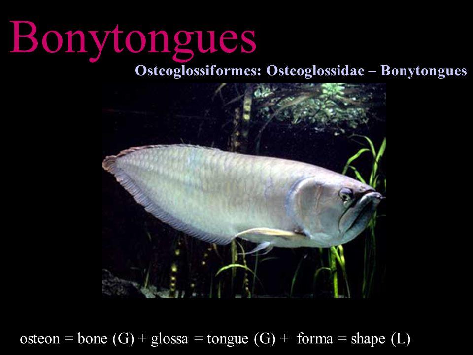 Bonytongues Osteoglossiformes: Osteoglossidae – Bonytongues osteon = bone (G) + glossa = tongue (G) + forma = shape (L)