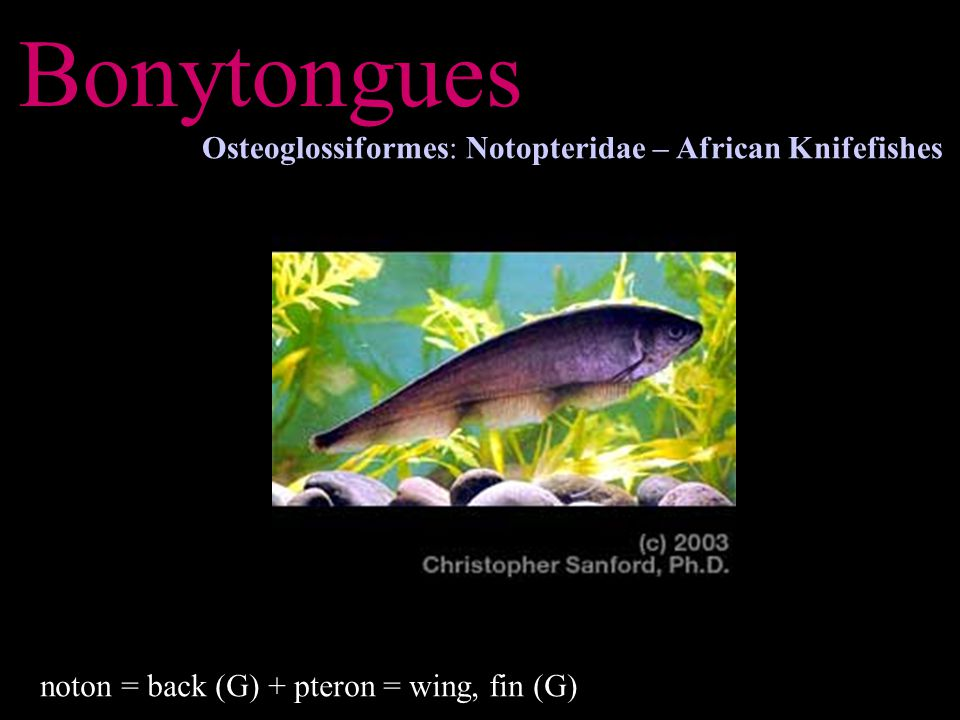 Bonytongues Osteoglossiformes: Notopteridae – African Knifefishes noton = back (G) + pteron = wing, fin (G)