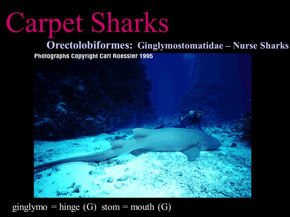 Carpet Sharks Orectolobiformes: Stegostomatidae – Zebra Sharks Stegos = roof, house, from; stegein = to cover (G) stoma = mouth (G)