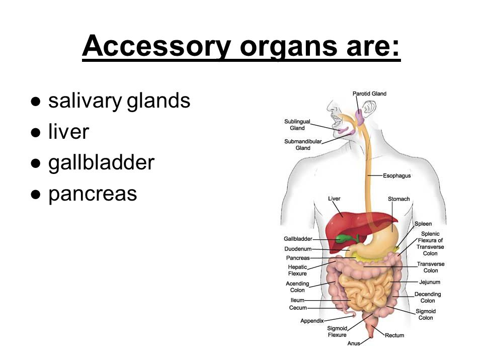 Accessory organs are: salivary glands liver gallbladder pancreas