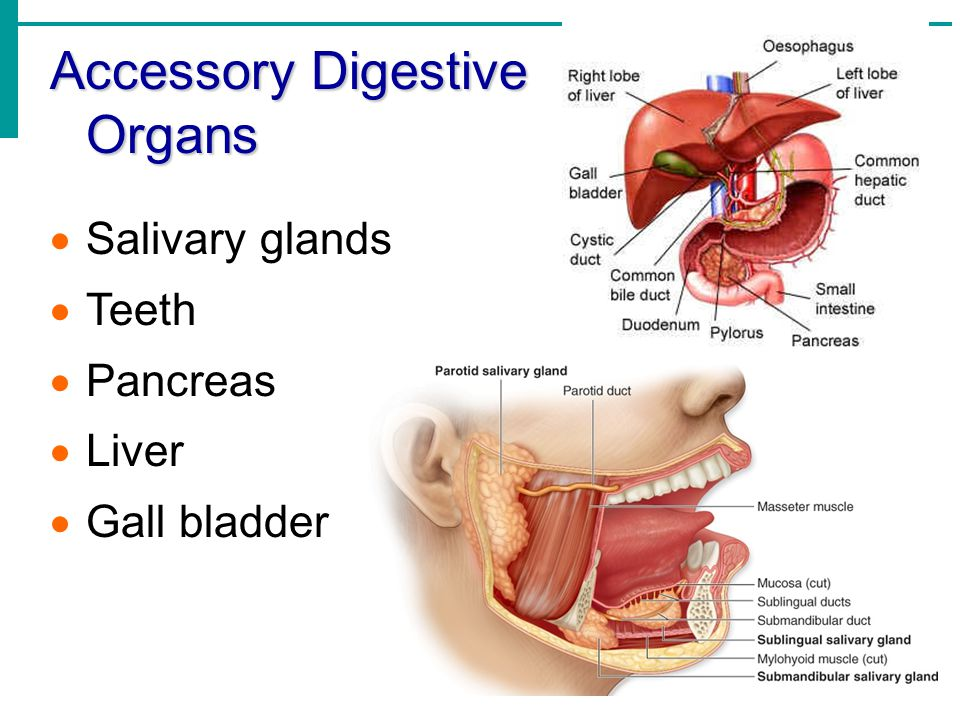 Salivary Glands Salivary Glands – empty their secretions (saliva) into the mouth Three Pairs: Parotid glands – located anterior to ears Submandibular and Sublingual glands – Empty secretions into the floor of the mouth through tiny ducts