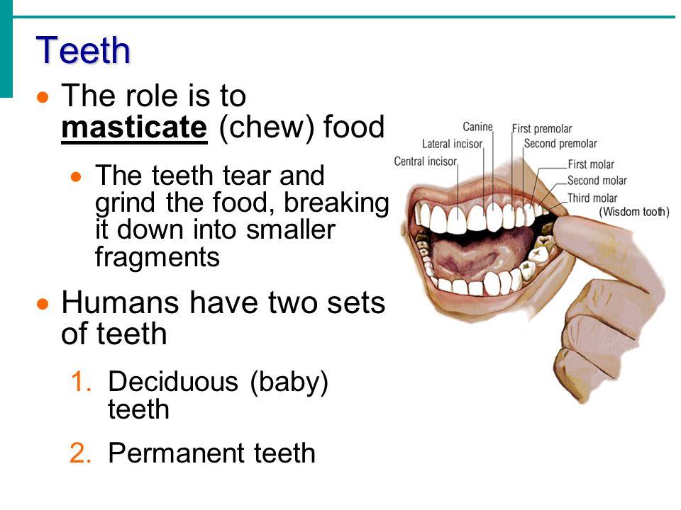 Teeth Deciduous (baby) teeth Begin to erupt around 6 months Full set (20 teeth) by the age of 2 years Permanent teeth Replace deciduous teeth beginning between the ages of 6 to 12 A full set is 32 teeth, but some people do not have wisdom teeth