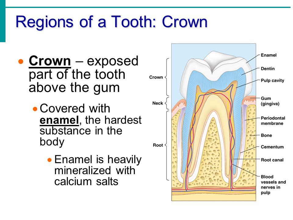 Regions of a Tooth: Crown Dentin - A bonelike material that underlies the enamel and forms the bulk of the tooth Pulp cavity – Cavity that contains blood vessels and nerves and that is surrounded by dentin Supplies nutrients and provides for tooth sensation