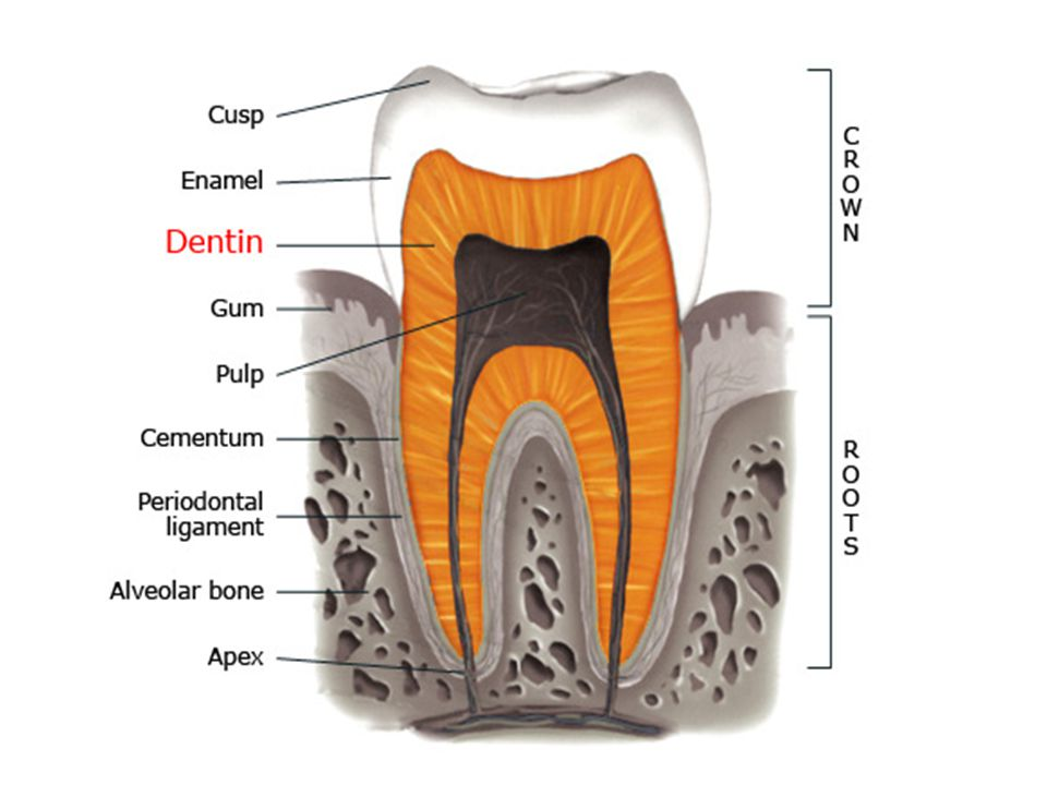 MINERAL CONTENT Enamel and dentin are less mineralized Enamel and dentin are highly mineralized Neonatal lines are presentNeonatal lines seen only in first molar Dentinal tubules are less regular Dentinal tubules are more regular Dentin is less dense.