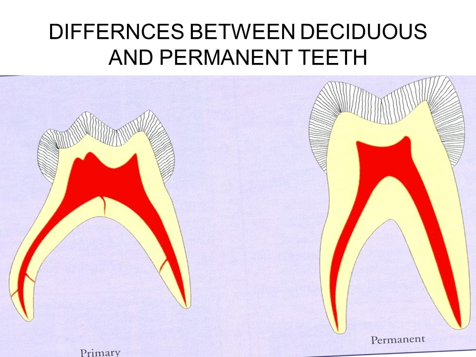 PERIODONTAL DIFFERENCES Cementum is very thin.