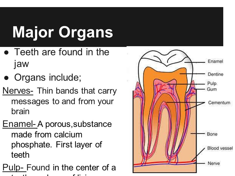 Major Organs Teeth are found in the jaw Organs include; Nerves- Thin bands that carry messages to and from your brain Enamel- A porous,substance made