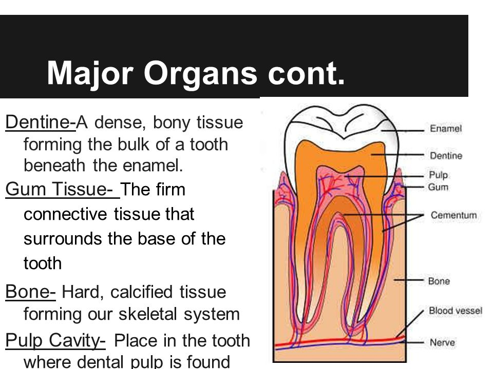 Major Organs cont. Dentine- A dense, bony tissue forming the bulk of a tooth beneath the enamel. Gum Tissue- The firm connective tissue that surrounds