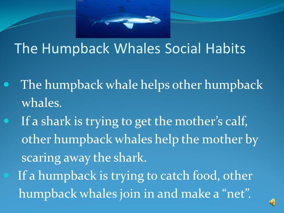 Humpback whales have dark gray skin and bumpy tubercles on their head. Female humpback whale are slightly bigger then a male humpback whale. Appearanc