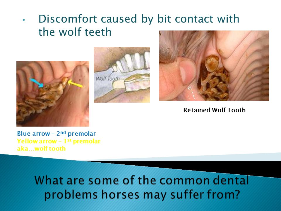 Discomfort caused by bit contact with the wolf teeth Retained Wolf Tooth Blue arrow – 2 nd premolar Yellow arrow – 1 st premolar aka…wolf tooth