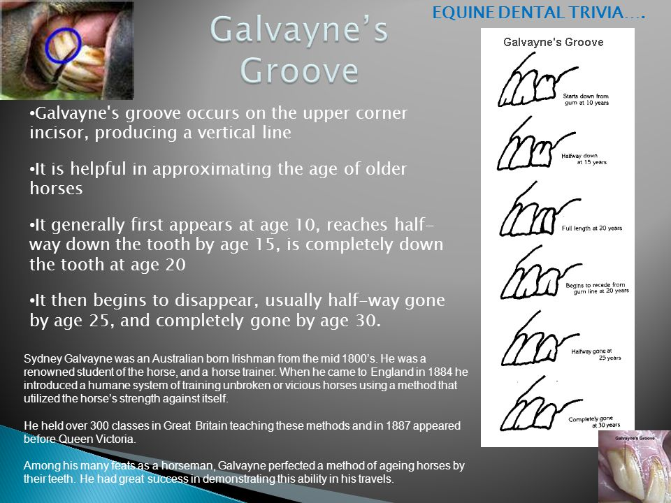 Galvayne's groove occurs on the upper corner incisor, producing a vertical line It is helpful in approximating the age of older horses It generally fi