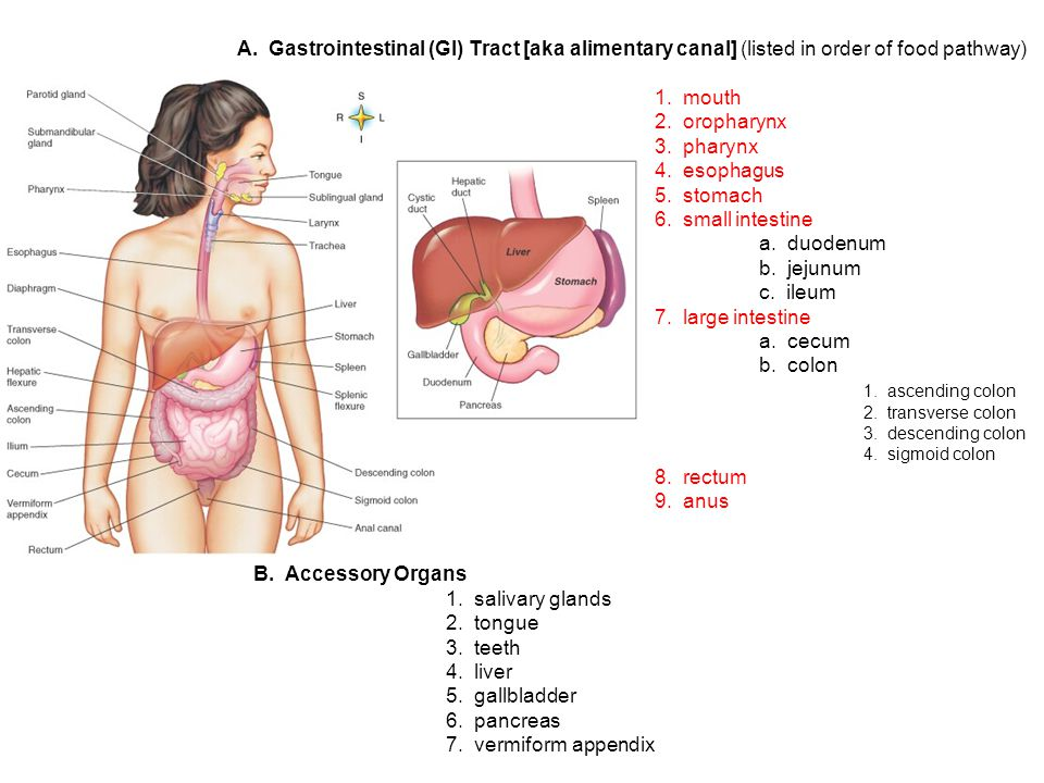 A.Gastrointestinal (GI) Tract [aka alimentary canal] (listed in order of food pathway) 1.
