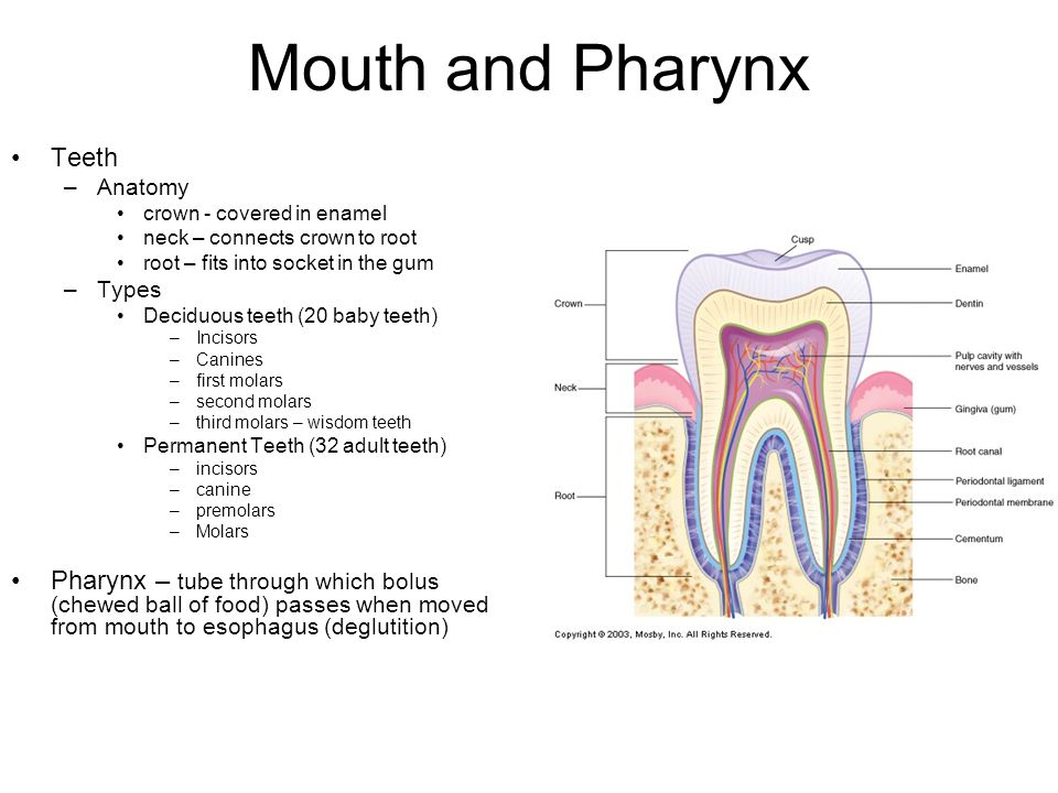 Mouth and Pharynx Teeth –Anatomy crown - covered in enamel neck – connects crown to root root – fits into socket in the gum –Types Deciduous teeth (20