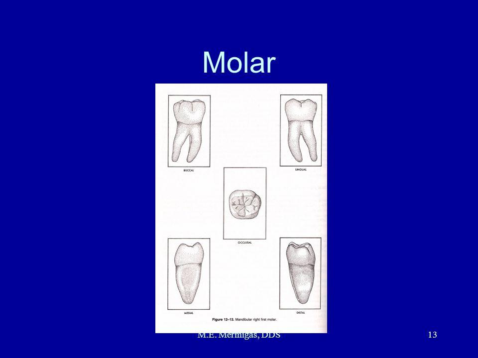 M.E. Mermigas, DDS13 Molar