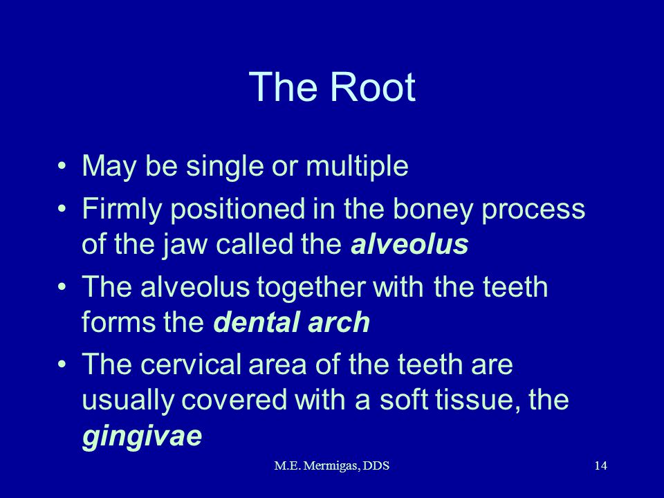 M.E. Mermigas, DDS14 The Root May be single or multiple Firmly positioned in the boney process of the jaw called the alveolus The alveolus together wi