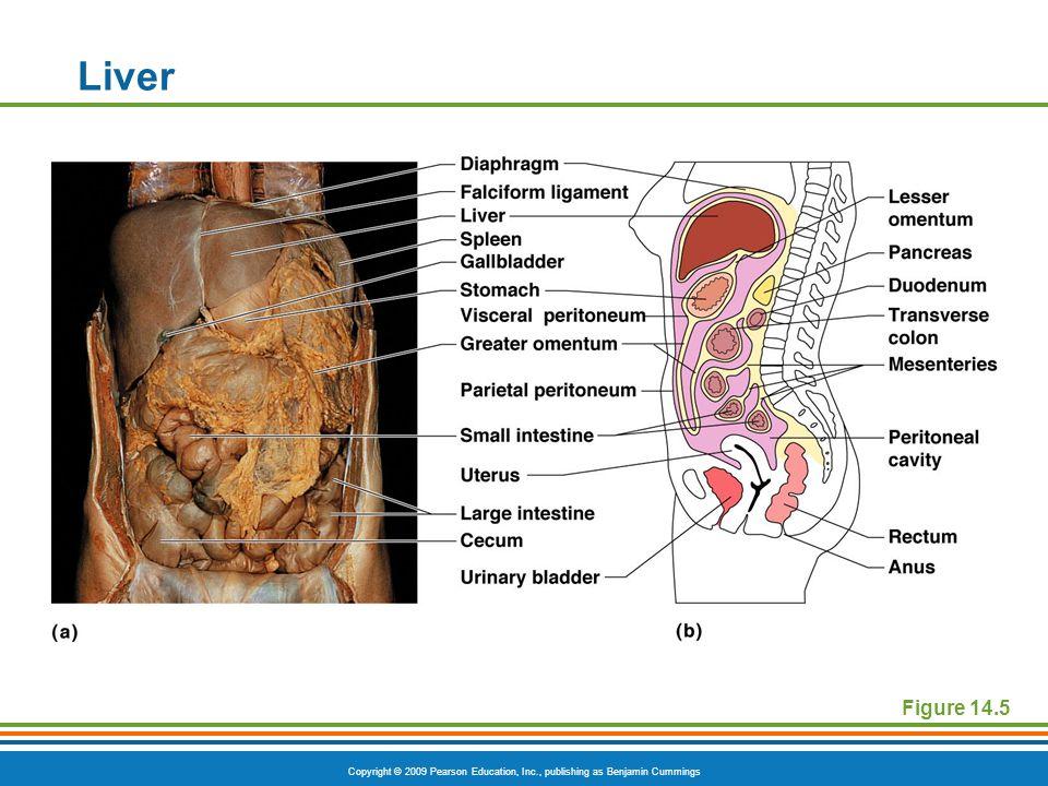 Copyright © 2009 Pearson Education, Inc., publishing as Benjamin Cummings Figure 14.5 Liver