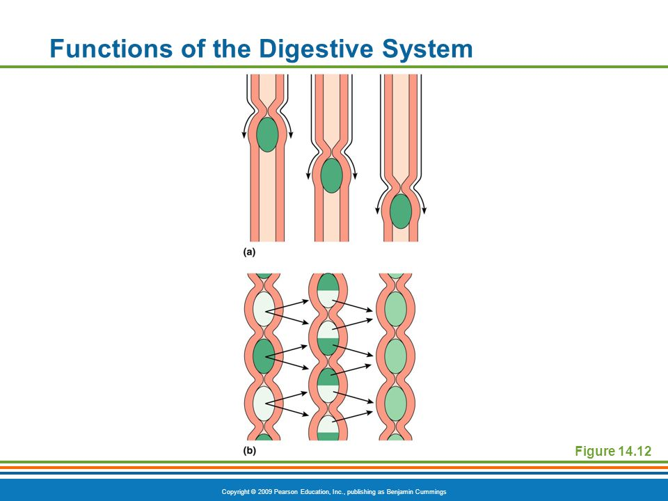Copyright © 2009 Pearson Education, Inc., publishing as Benjamin Cummings Functions of the Digestive System Figure 14.12