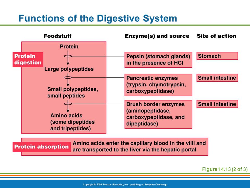 Copyright © 2009 Pearson Education, Inc., publishing as Benjamin Cummings Functions of the Digestive System Figure 14.13 (2 of 3)