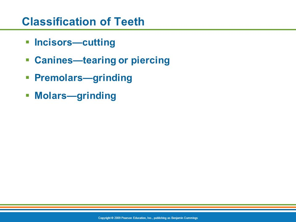 Copyright © 2009 Pearson Education, Inc., publishing as Benjamin Cummings Classification of Teeth Incisorscutting Caninestearing or piercing Premolars