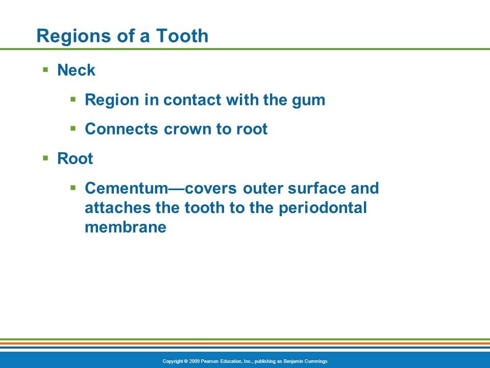 Copyright © 2009 Pearson Education, Inc., publishing as Benjamin Cummings Regions of a Tooth Neck Region in contact with the gum Connects crown to roo