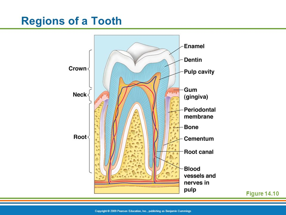 Copyright © 2009 Pearson Education, Inc., publishing as Benjamin Cummings Regions of a Tooth Figure 14.10