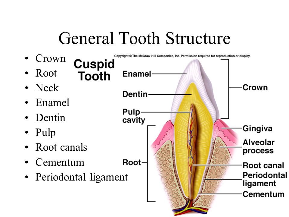 General Tooth Structure Crown Root Neck Enamel Dentin Pulp Root canals Cementum Periodontal ligament