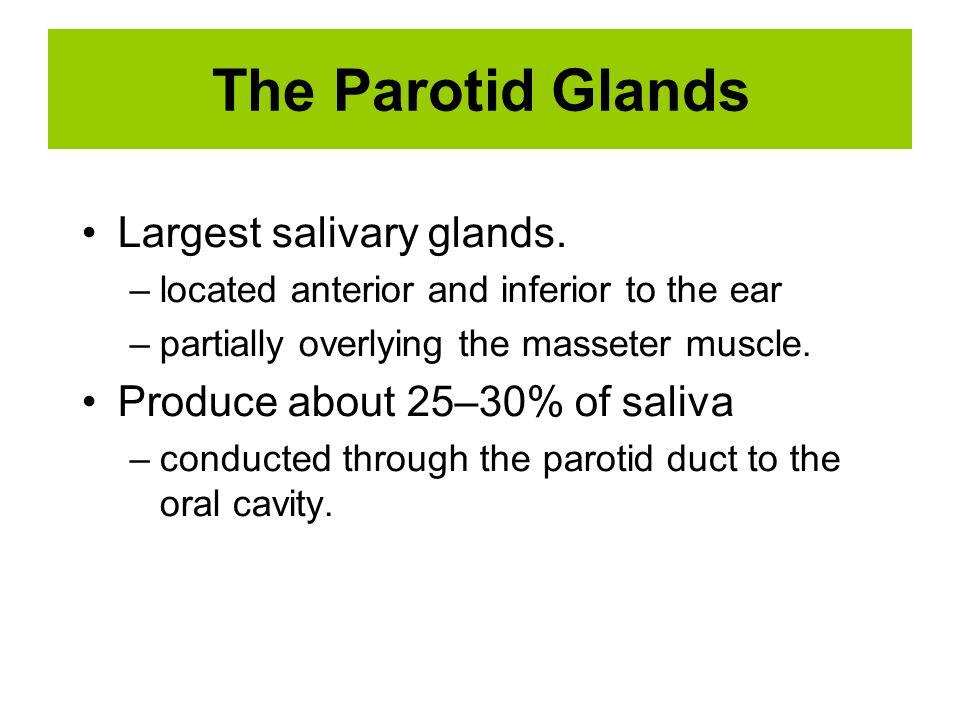 The Parotid Glands Largest salivary glands. –located anterior and inferior to the ear –partially overlying the masseter muscle. Produce about 25–30% o