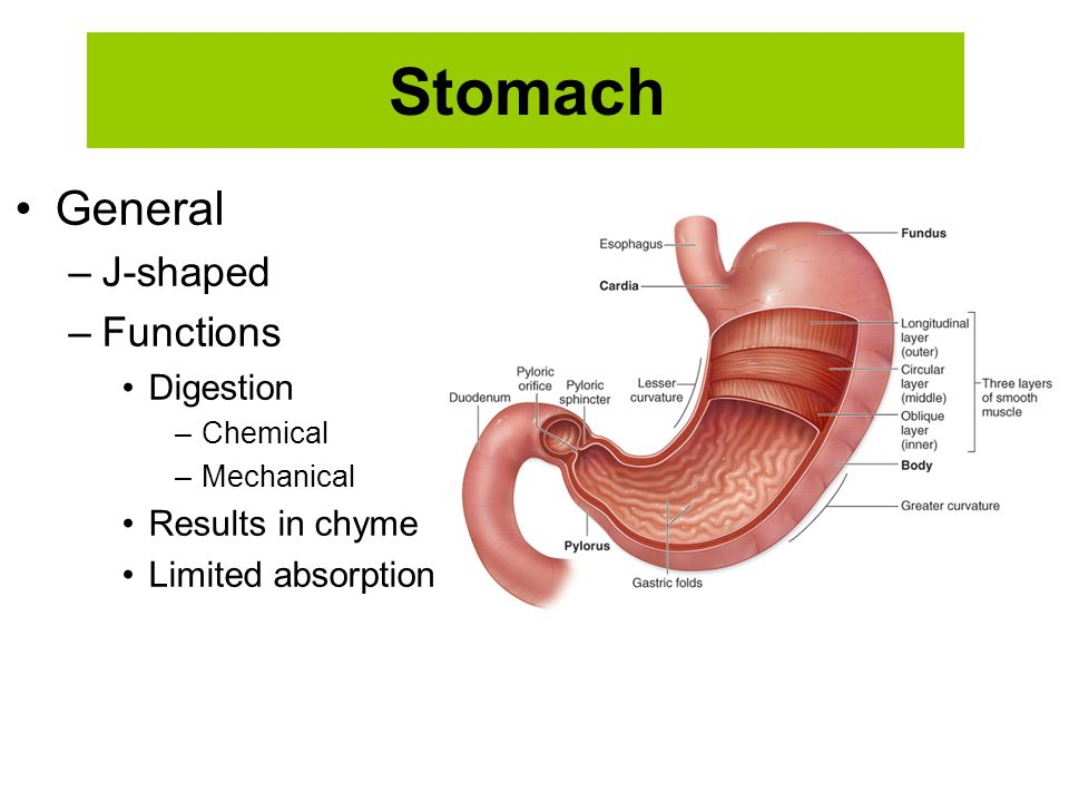 Stomach General –J-shaped –Functions Digestion –Chemical –Mechanical Results in chyme Limited absorption