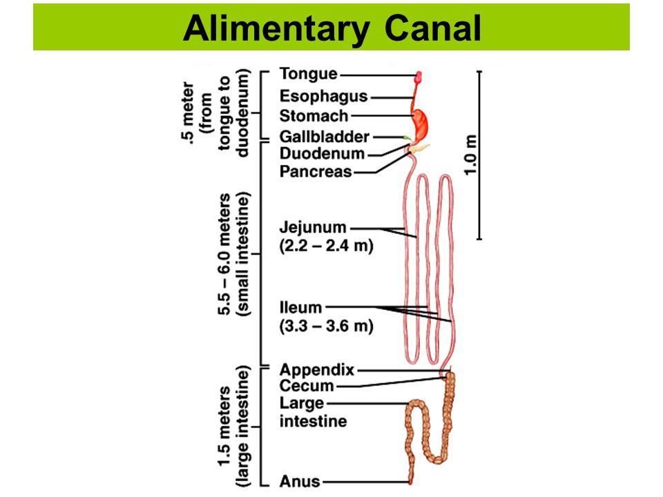 Accessory Digestive Organs The biliary apparatus.