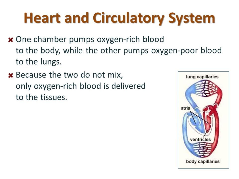 Heart and Circulatory System One chamber pumps oxygen-rich blood to the body, while the other pumps oxygen-poor blood to the lungs. Because the two do